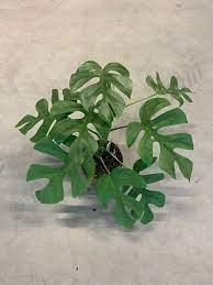 tanaman monstera